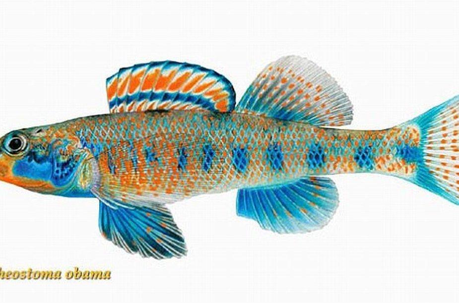 Nauja žuvų rūšis  Etheostoma obama