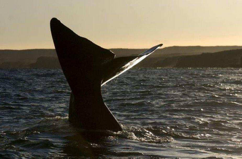 Pietų banginiai mėgsta puikuotis savo uodegomis.