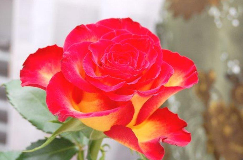 Pajausti, kad dovanojamos gėlės yra vogtos, tikriausia yra neįmanoma.