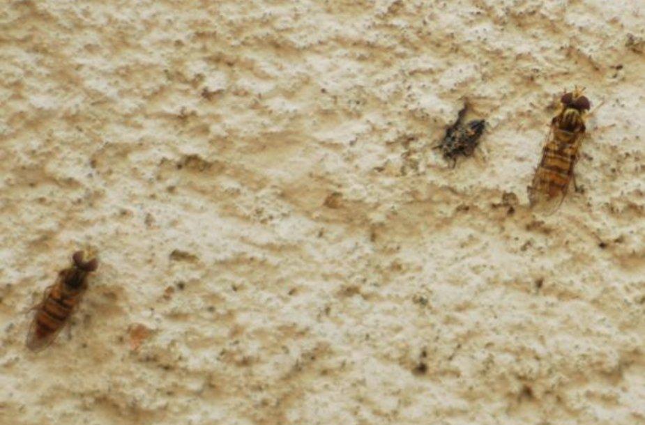 Vabzdžiai – Prasidėjus karčiams pajūryje padaugėjo vabzdžių.