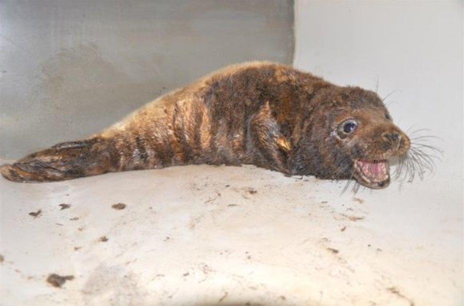 2010 m. ties Juodkrante buvo rasta mazutuota ruoniukė, kuriai Jūrų muziejaus darbuotojai išgelbėjo gyvybę. Pagijusi ir sustiprėjusi, ji buvo paleista atgal į Baltiją.