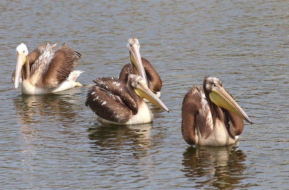 Jūrų muziejuje apsigyveno pelikanai, atgabenti iš Čekijos.