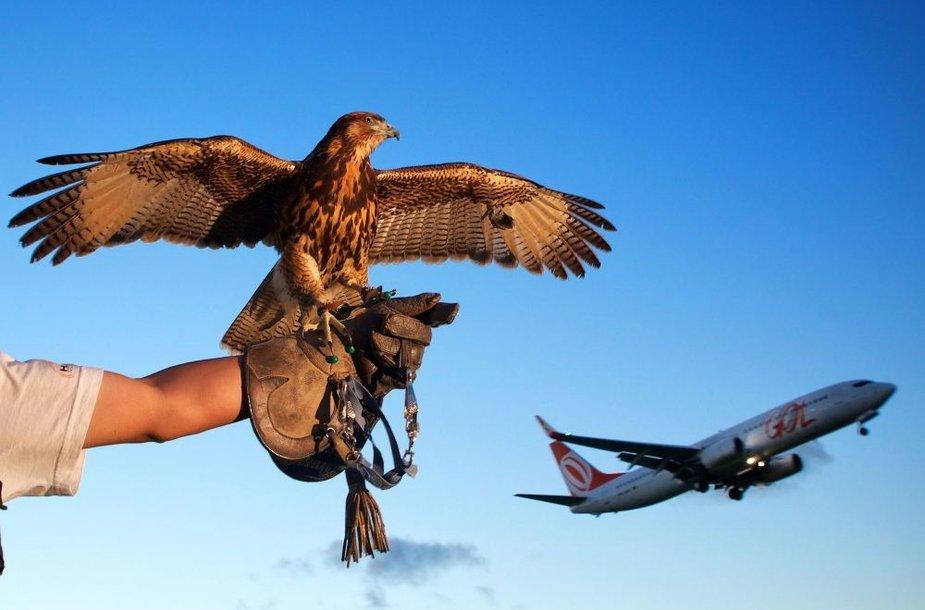 Kai kuriuose oro uostuose paukščius nuo tūpimo-kilimo takų vaiko specialiai dresuoti sakalai.
