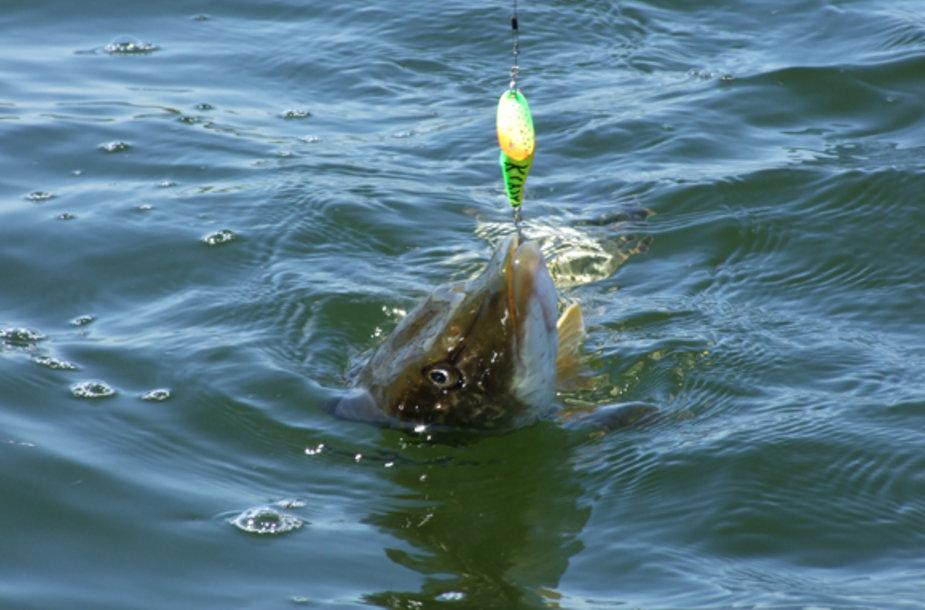 Ši lydeka stvėrė sukrę, kurios išvaizda neprimena ne tik žuvelės, bet ir kitų vandens gyvūnų, tačiau skleidžia stiprius provokuojančius virpesius