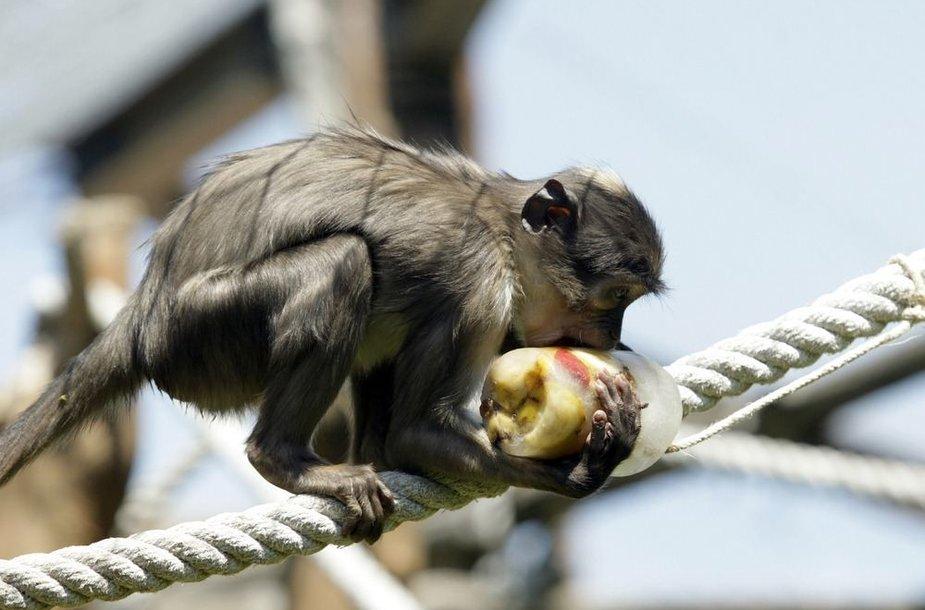 Beždžionė valgo šaldytus vaisius.