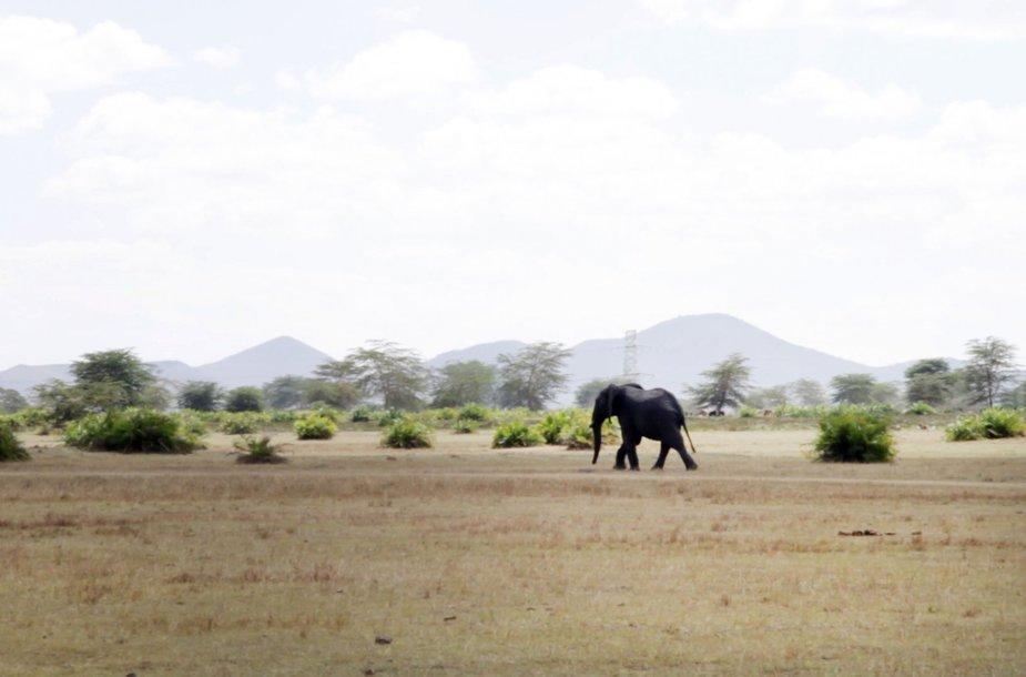 Išgelbėtas dramblys