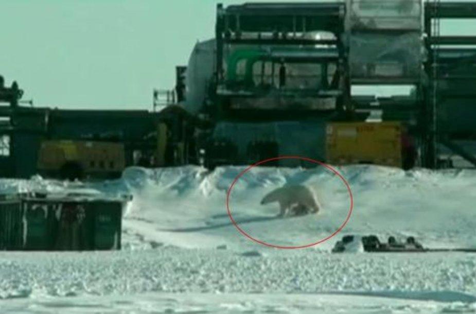 Baltieji lokiai bunda iš žiemos miego