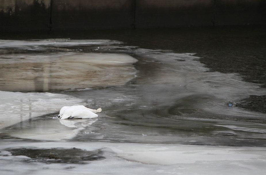 Gulbė ant ledo
