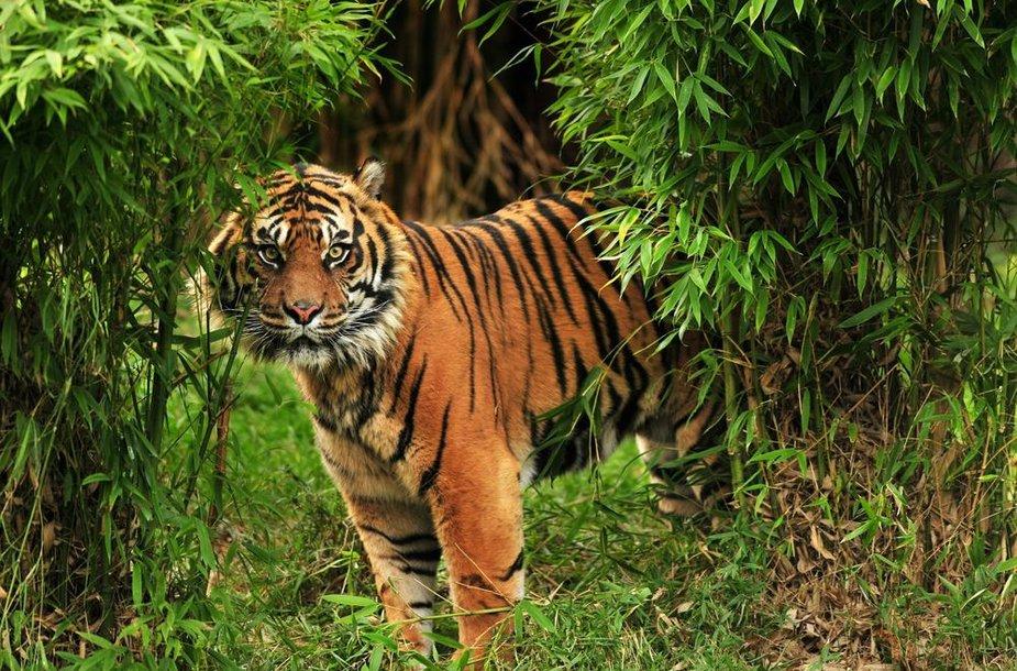 Tigras Indijos džiunglėse