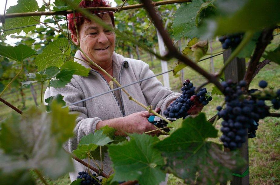 Vynuogynai šalia Krokuvos