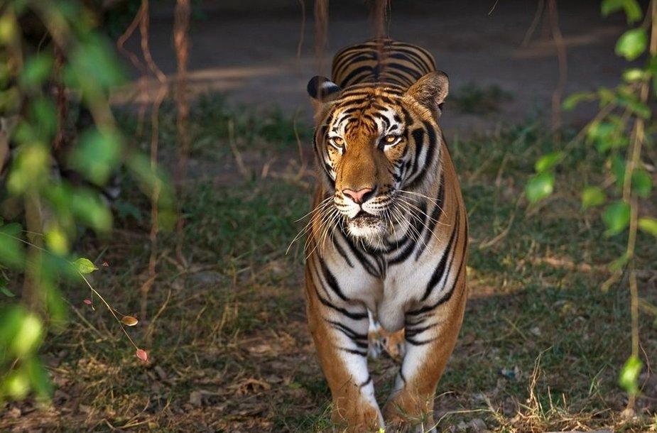 Amūrinis, arba sibirinis, tigras