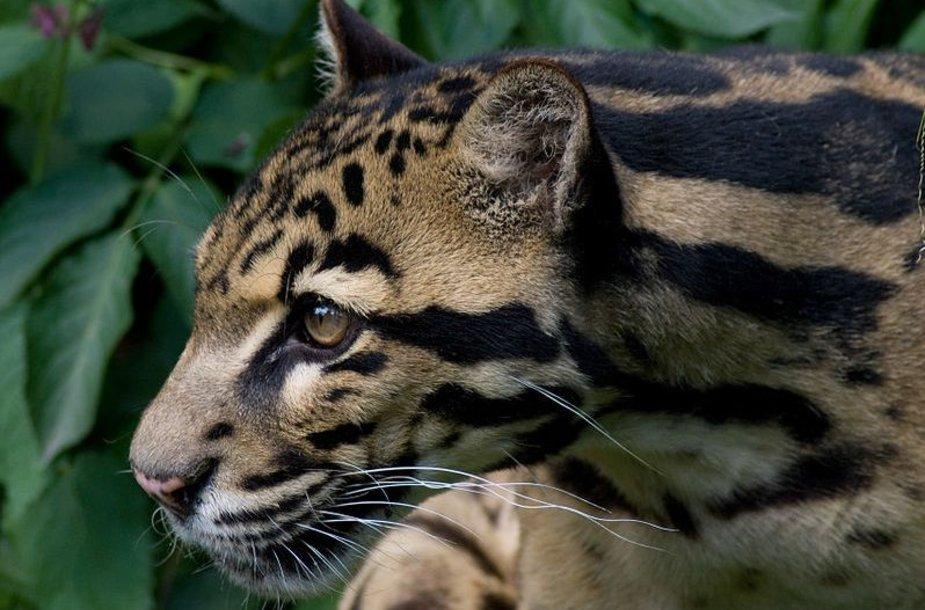 Debesuotasis Sunda leopardas