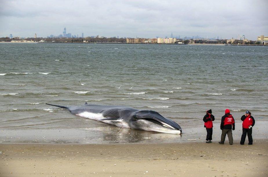 Ketvirtadienį nugaišo ant kranto Niujorke išmestas banginis