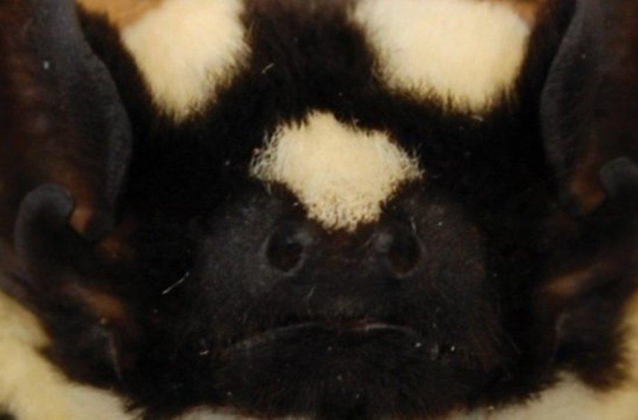 Šikšnosparnis–panda