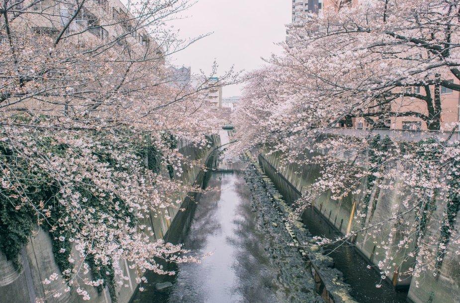 Sakurų žiedai Tokijo gatvėse