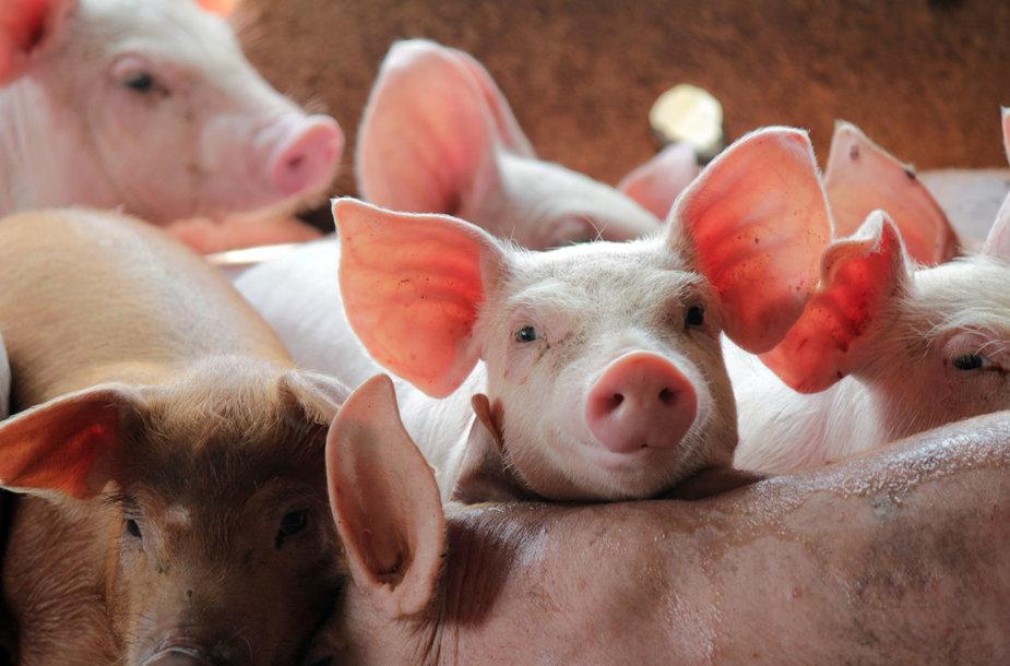 Kiaulių ferma