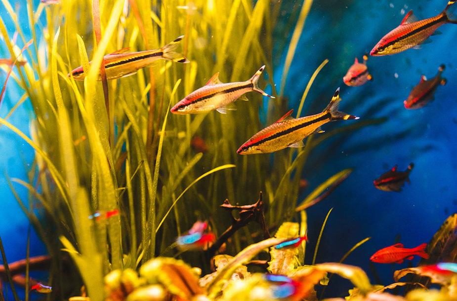 Kokias žuvis geriausia auginti mažame akvariume?