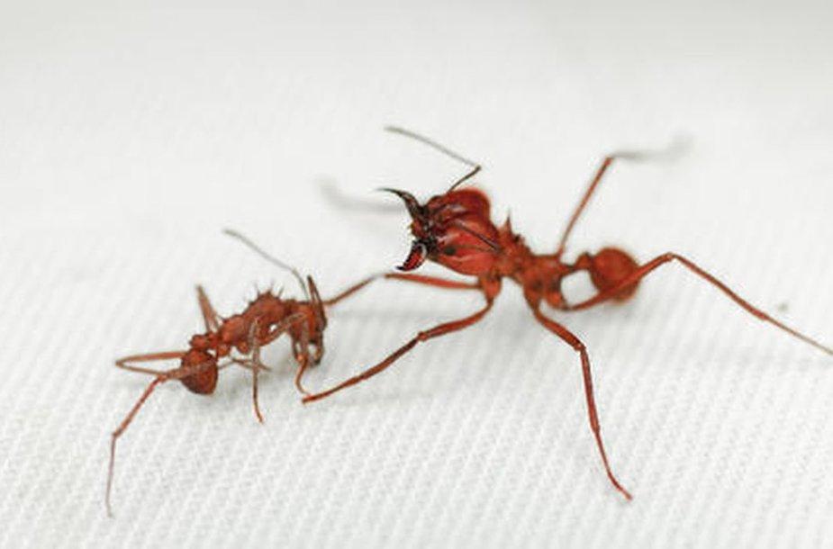 Lapkirpės skruzdėlės