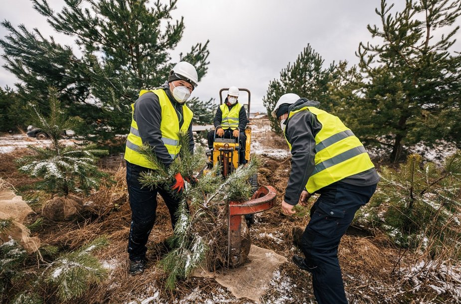 Planting of the pine trees