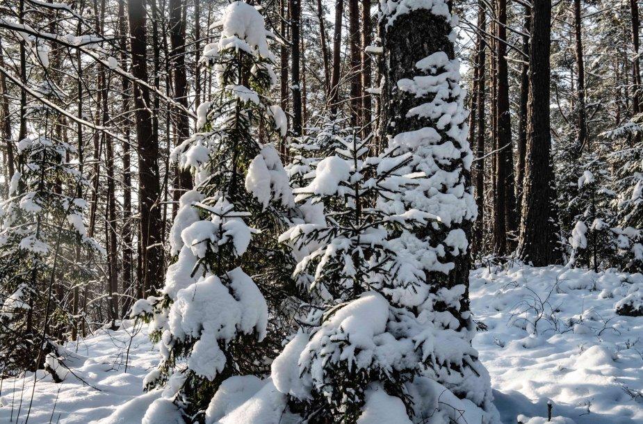 Sniegas ant šakų