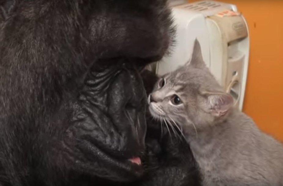 Gorila Koko ir jos kačiukas