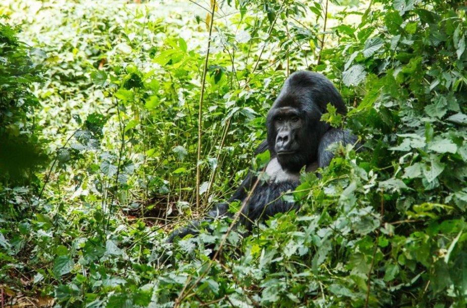 Gorila Ugandoje