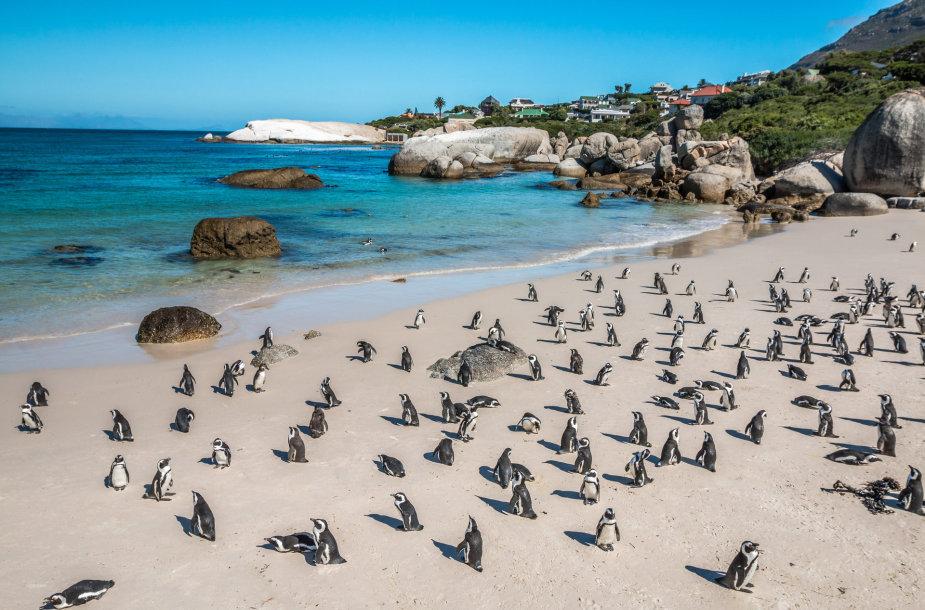 Afrikos pingvinai PAR