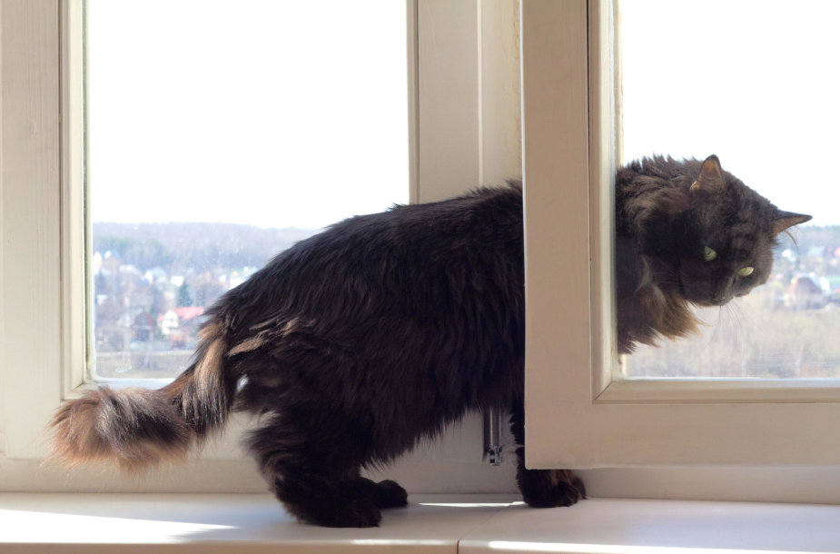 Katė prie lango