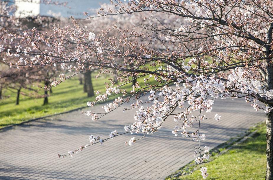 Vilniuje uždarytas sakurų parkas