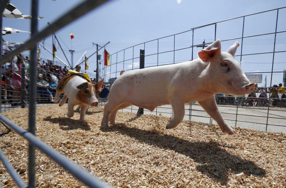 Kiaulių lenktynės