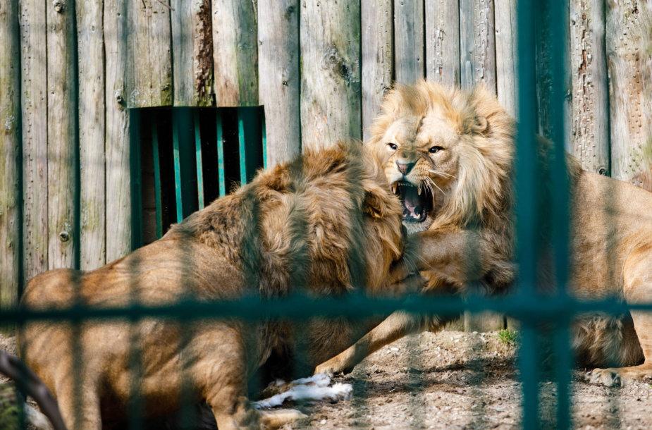 Liūtai zoologijos sode