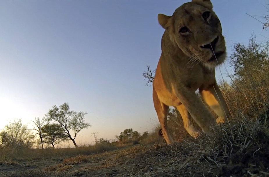 Gyvūnai Krugerio parke