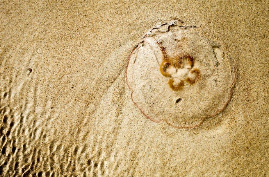 Palangos paplūdimyje ant kranto išmestos medūzos