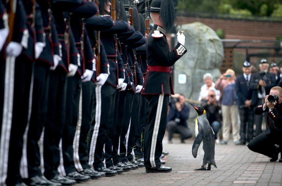 Karališkasis pingvinas seras Nilsas Olavas