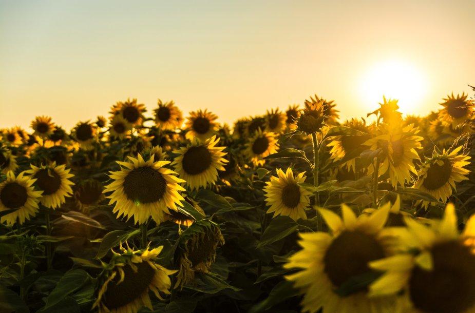 Saulė