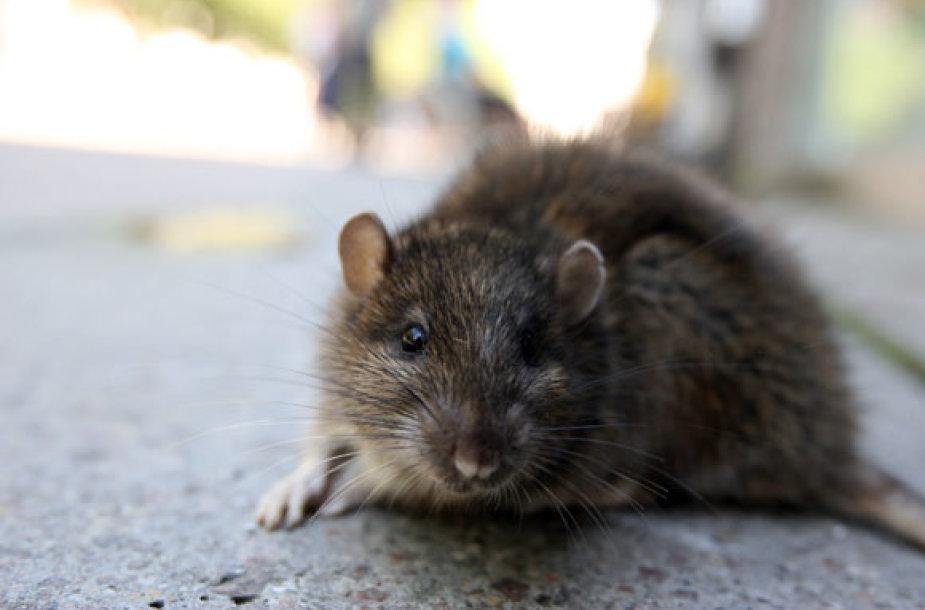 Žiurkė Laisvės alėjoje