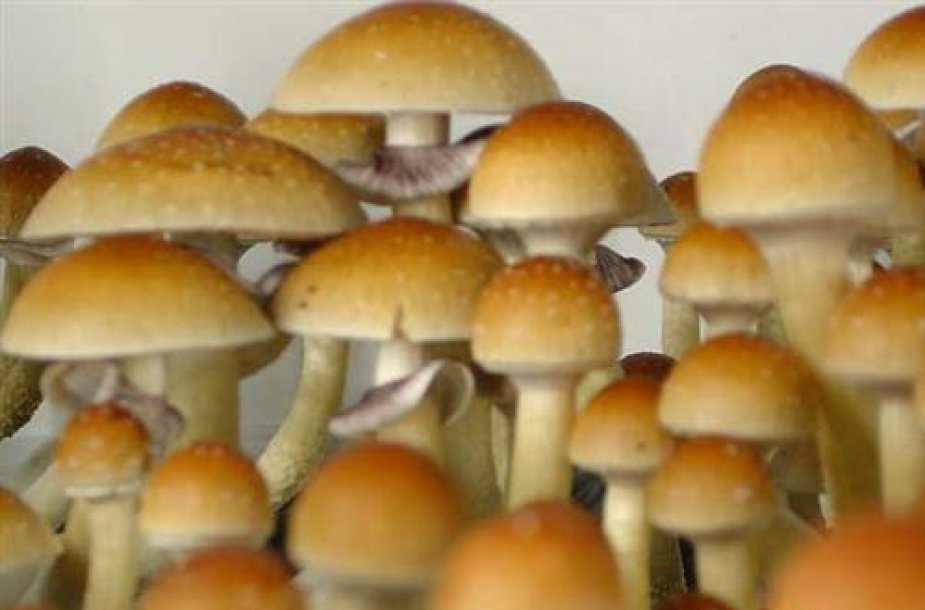 Haliucinogeniniai grybai