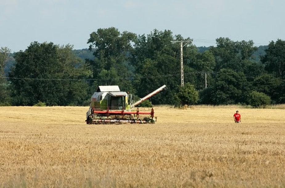 Nuimamas grūdų derlius