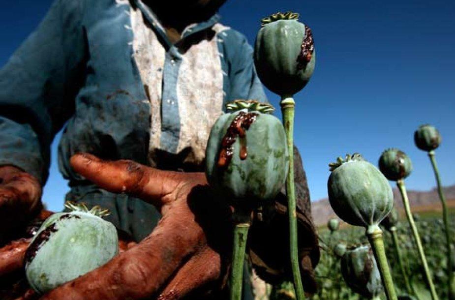 Iš aguonų galvučių sunkiasi skystis, greitai virstantis opijumi