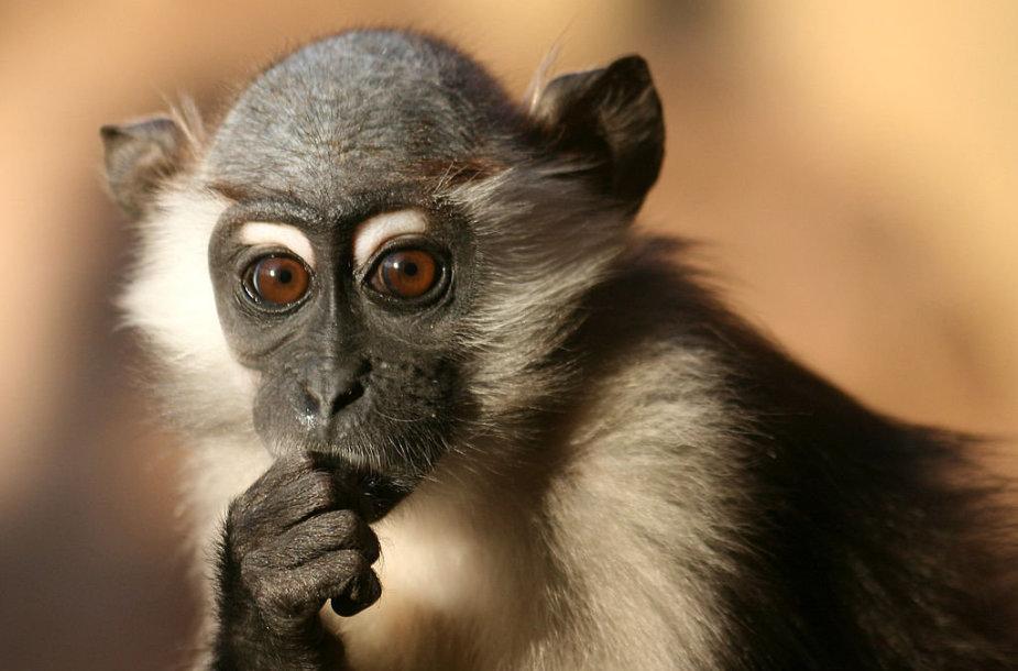 Beždžionė mangaba