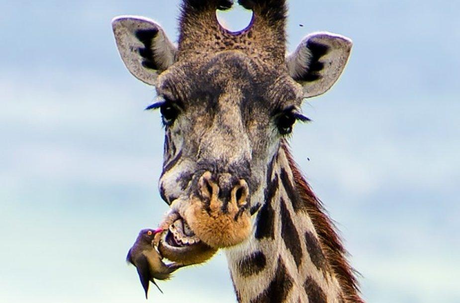 Žirafos dantistas – paukštis