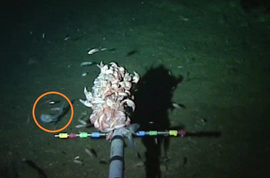 Keistas nedidukas gyvis 8 km gylyje mokslininkams iškėlė klausimų. Pasak jų, tai gali būti gleiviažuvinė