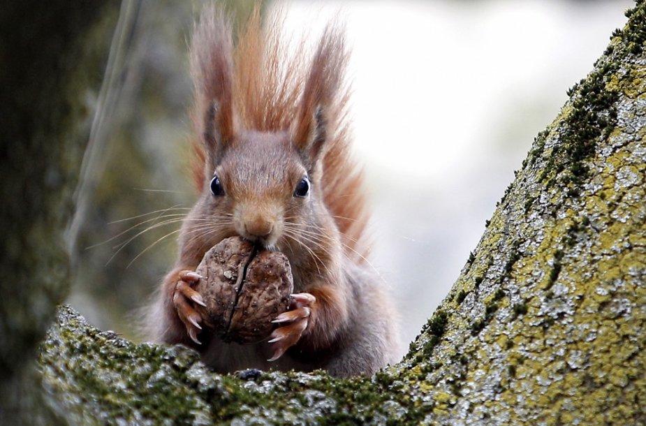 Voverė