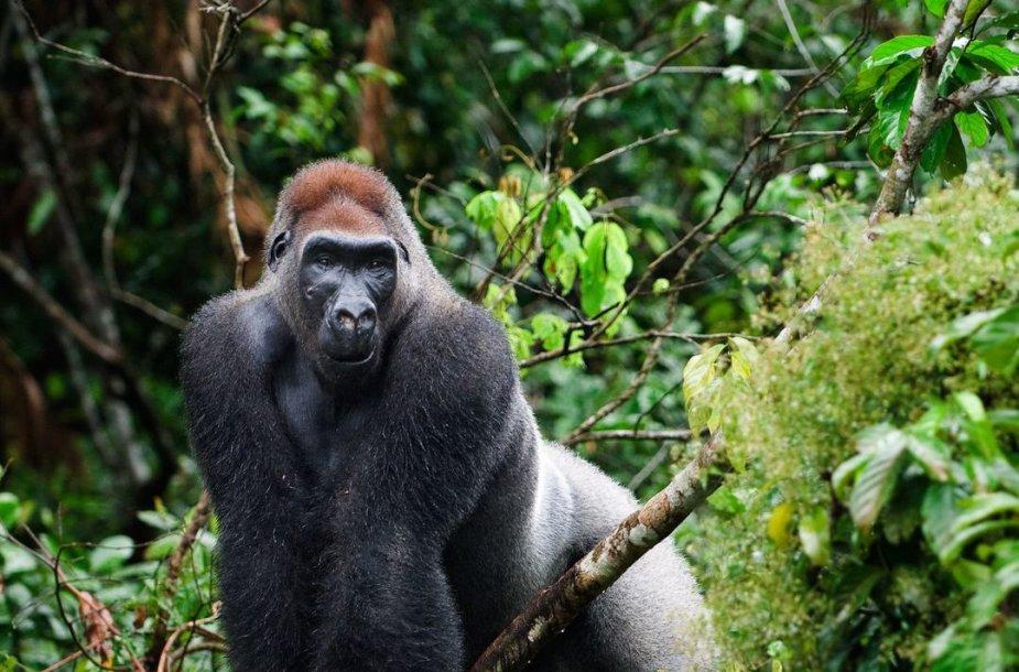 Gorila Kongo Demokratinėje Respublikoje
