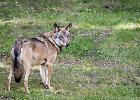 Kėdainių rajone siaučia vilkų gauja: užpulta 40 galvijų banda, sudraskytas veršiukas