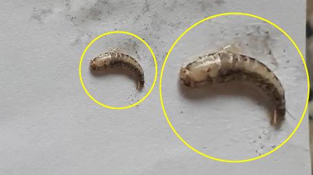 Parazitai