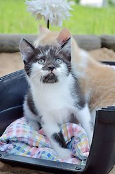 Balio katė