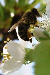 Bitė (vabzdys)