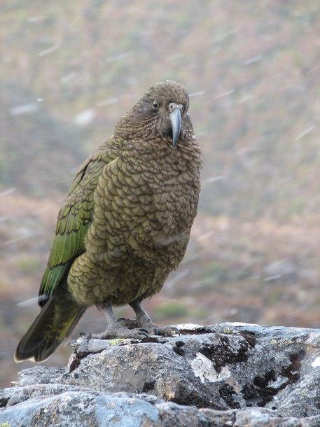 Naujosios Zelandijos papūga Kėja