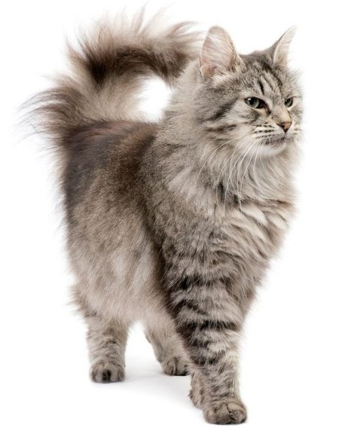 Sibiro katė
